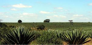 Мексиканские поля Агавы
